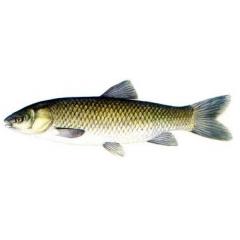 Cá trắm trắng nguyên con